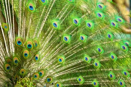 Peacock multicolor plumage